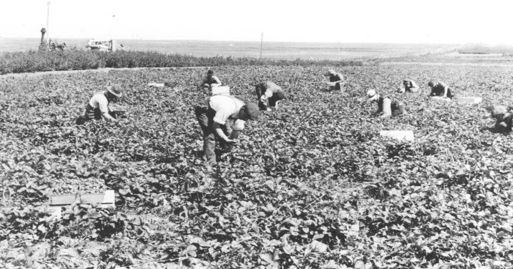Potato Picking